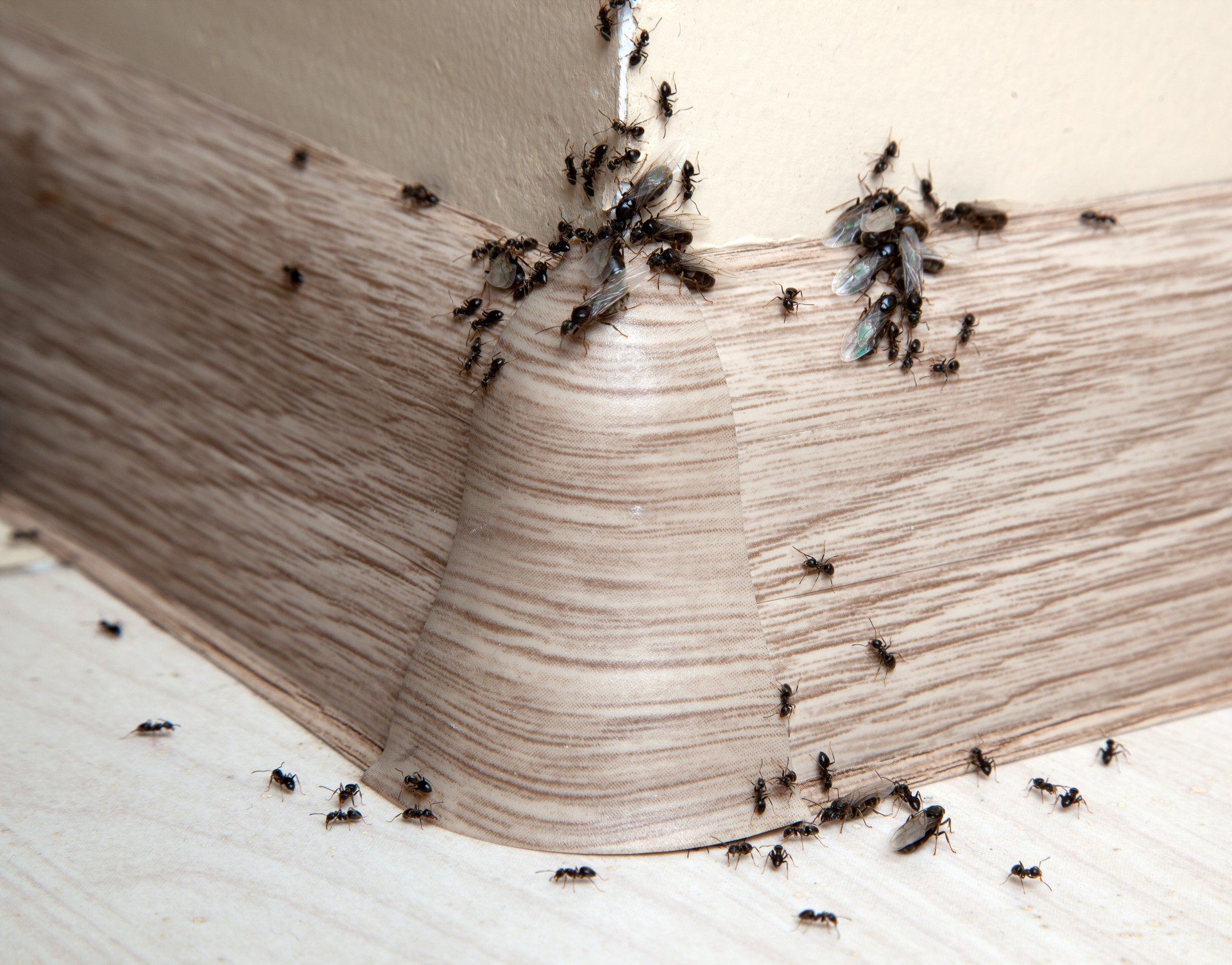 Ant Infestation, Pest Control in Rickmansworth, Chorleywood, Croxley Green, WD3. Call Now 020 8166 9746
