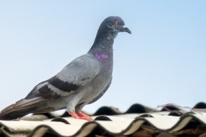 Pigeon Control, Pest Control in Rickmansworth, Chorleywood, Croxley Green, WD3. Call Now 020 8166 9746