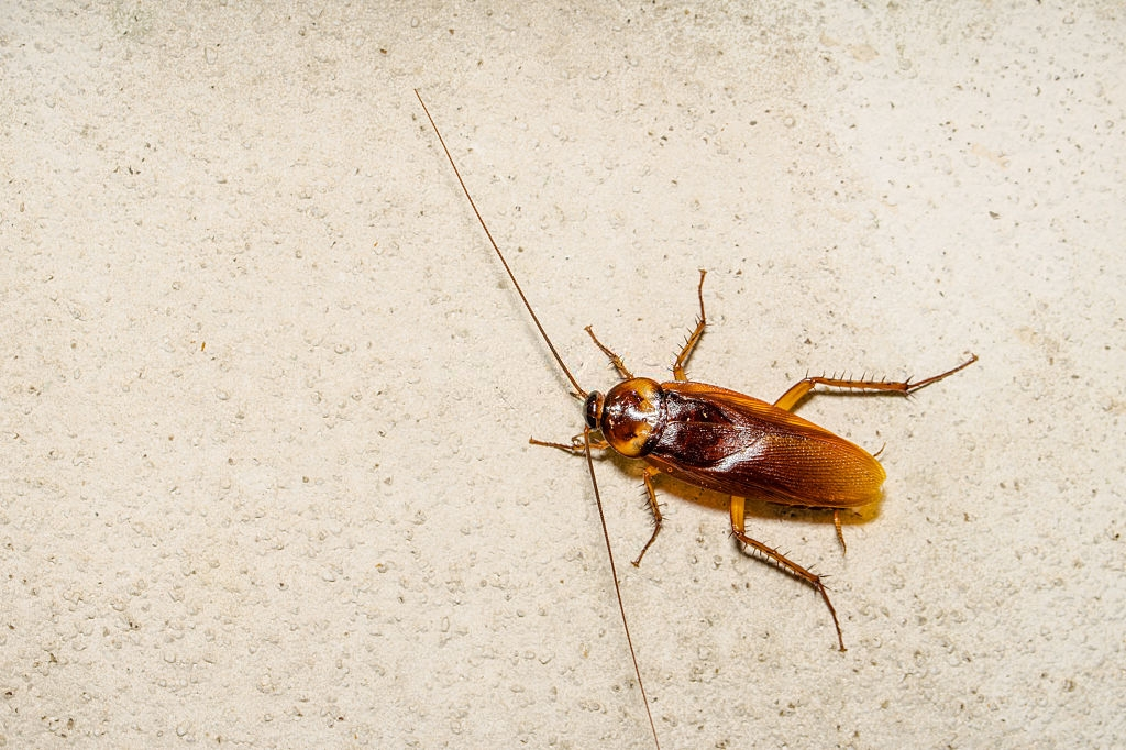 Cockroach Control, Pest Control in Rickmansworth, Chorleywood, Croxley Green, WD3. Call Now 020 8166 9746
