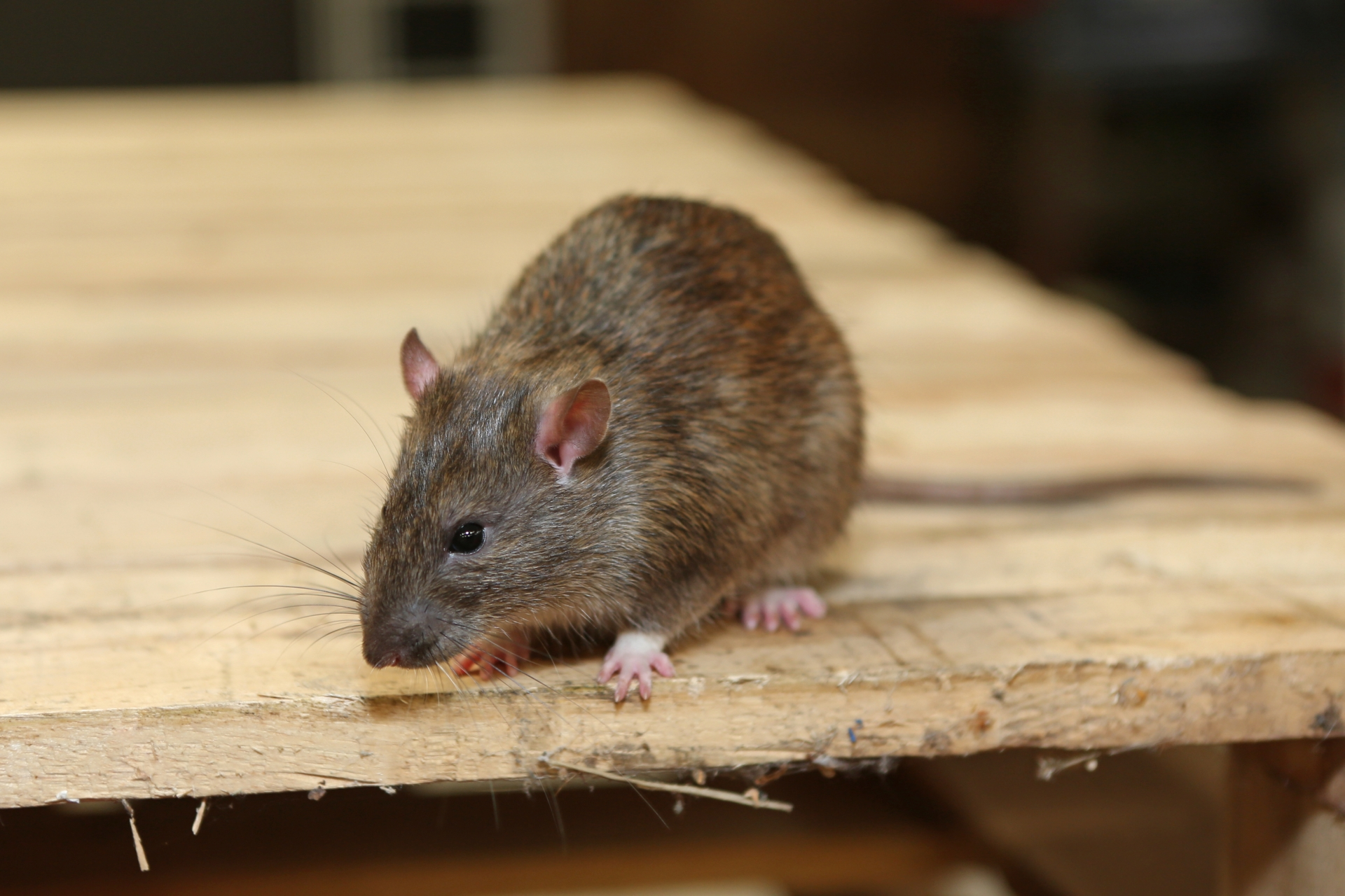 Rat Control, Pest Control in Rickmansworth, Chorleywood, Croxley Green, WD3. Call Now 020 8166 9746